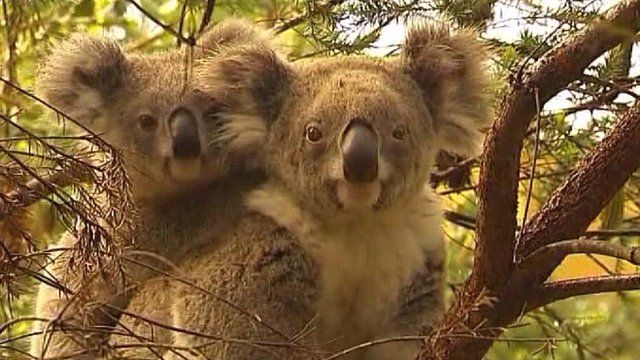 There are less than 80,000 koalas left in the wild