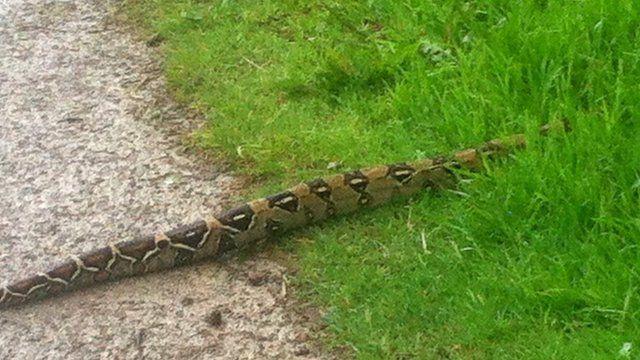 Boa constrictor snake seen at Swinsty Reservoir