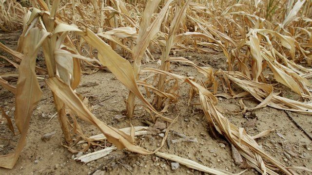 Corn stalks struggling from the lack of rain in the US