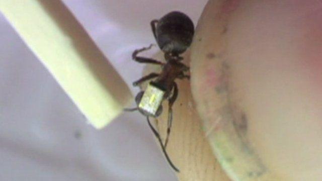 Radio-tagged ant