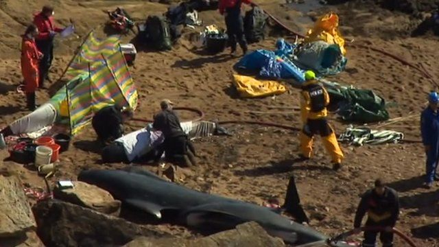 Rescuers help stranded whales in Fife