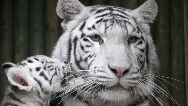 White tigers at Liberec zoo in Czech Republic