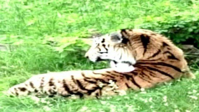 Tiger at Bronx Zoo