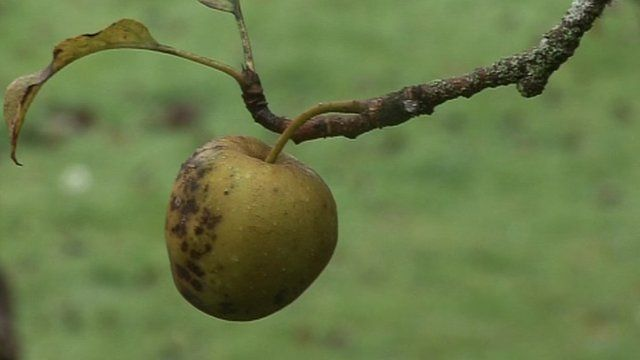 An apple on a branch