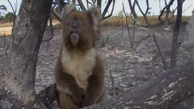 koala had lucky escape from bush fire in australia