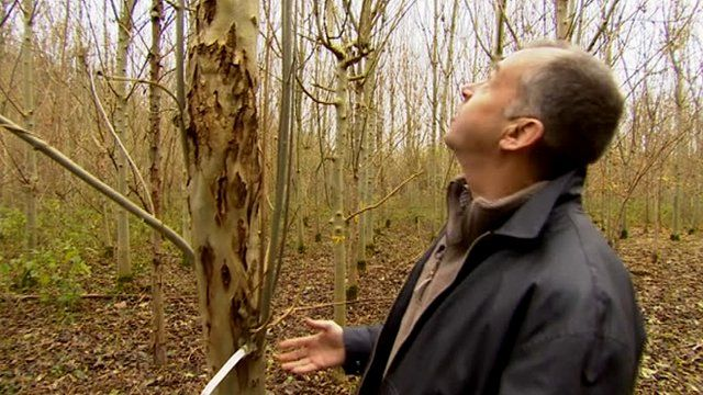 Ash trees being trialled