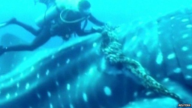 Diver cuts rope from whale shark