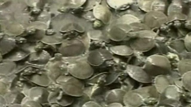 Baby turtles released into river in Bolivia.