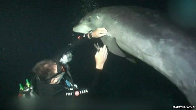 A trapped dolphin is cut free by a diver