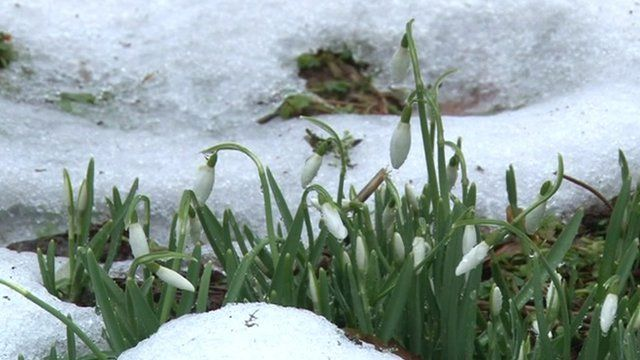 Snowdrops in the snow at Exmoor