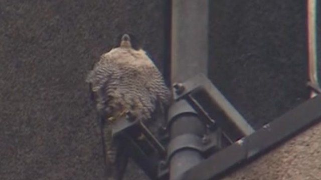Winchester Police Station falcons get new nesting box