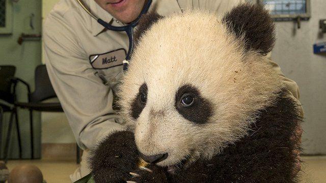 Xiao Liwu getting his health check.