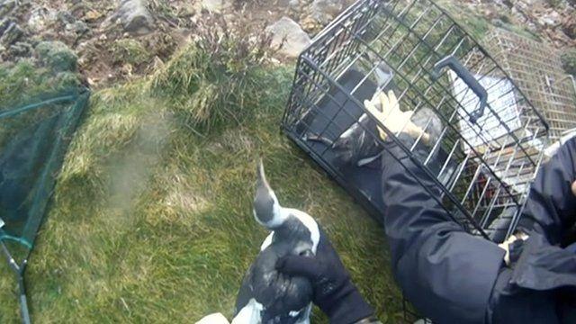 Guillemot birds being put into cage
