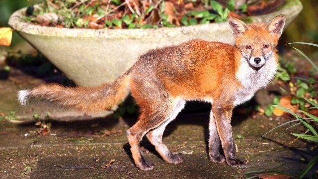 Fox in a garden