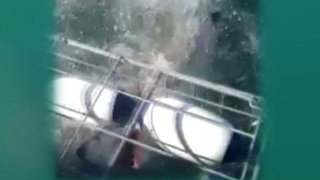 Shark inside a shark cage