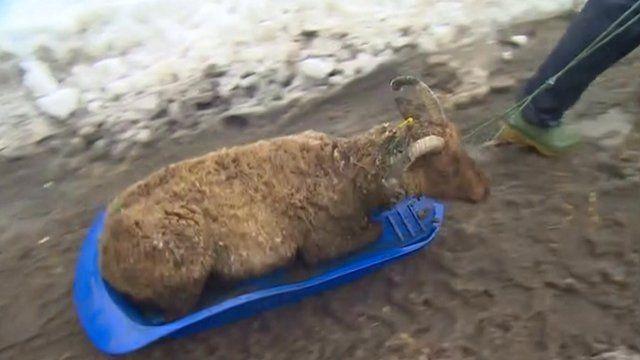 A sheep being rescued on a sled