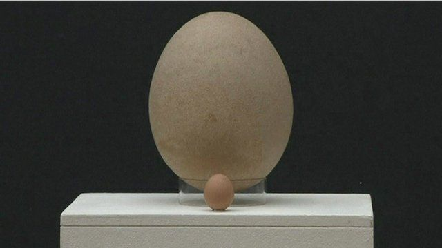 The giant egg on display next to a chicken's egg.
