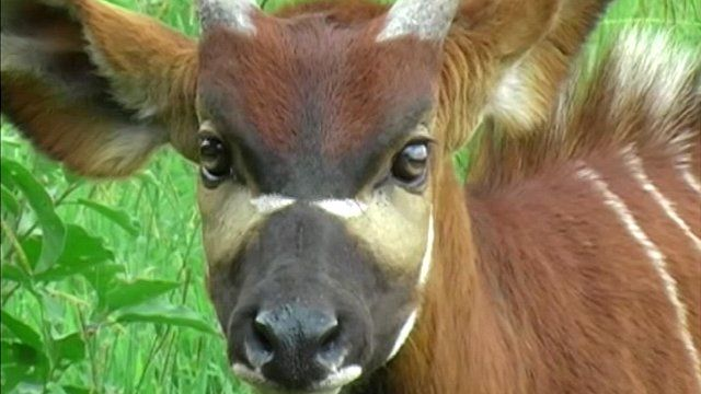 Eastern Bongo antelope
