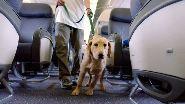 A guide dog on a plane
