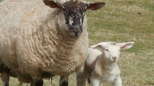 Geraldine with her giant lamb Joan