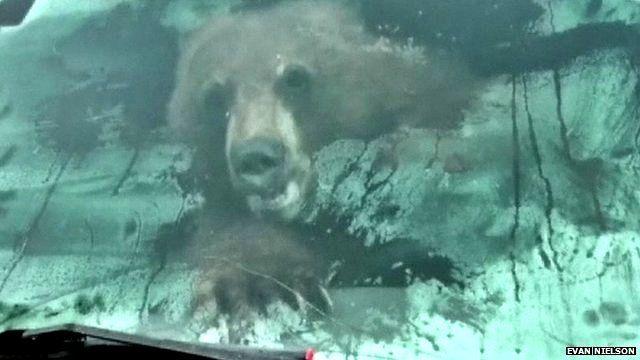Black bear in Evan Nielson's truck
