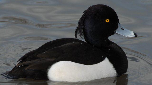 Tufted duck (c) J S Lees