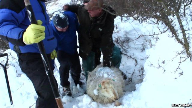 Men rescuing a sheep from the snow