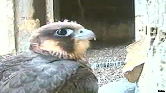 The peregrine chicks were born in May