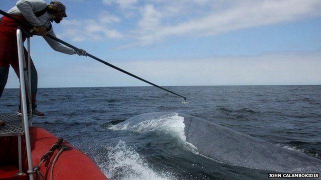 Researcher tags a blue whale (c) John Calambokidis