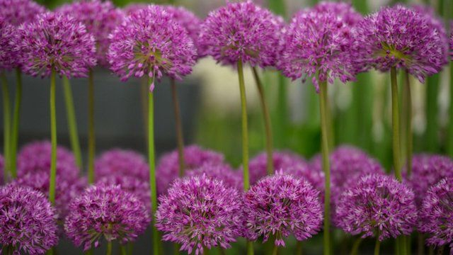 Allium flowers are displayed during the Chelsea Flower Show press day in London on May 20, 2013