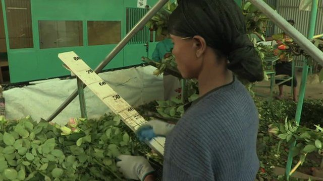 Indian owned rose plantation in Ethiopia