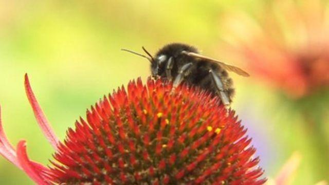 Rare bombus ruderatus bumblebee