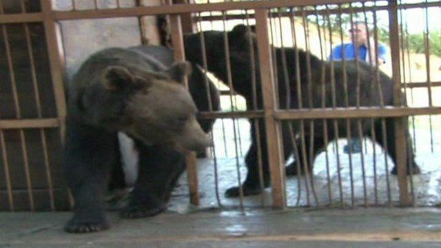 Bears in Russia