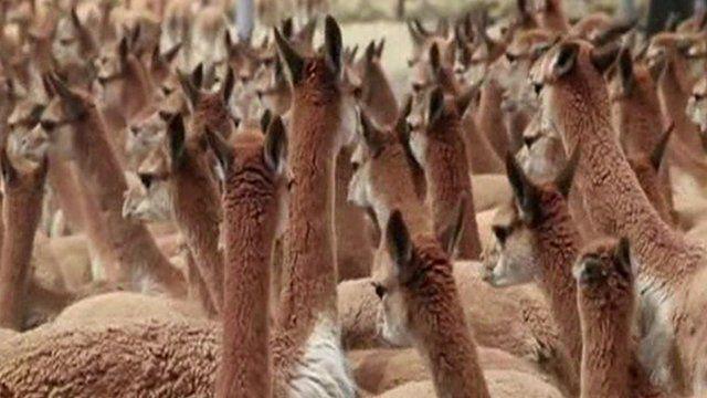 a herd of vicunas in Peru