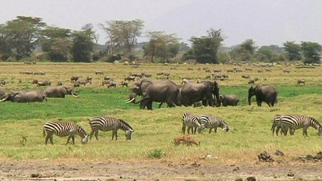 Elephants, rhinos, gazelles and zebras are grazing in Amboseli and Kilimanjaro landscape