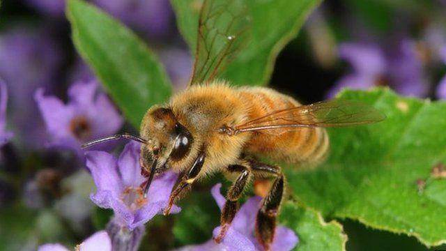 Honeybee on lavender (c) Science Photo Library