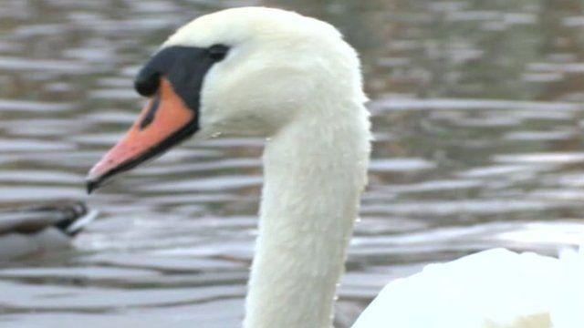 A swan at Radipole Lake in Weymouth