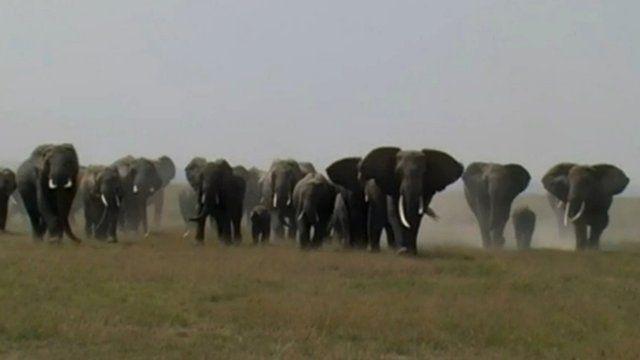 African elephants (c) Karen McComb