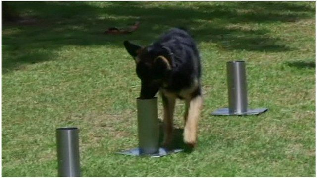 A sniffer dog in action