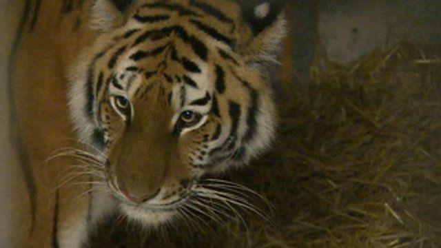 Tschuna the tiger