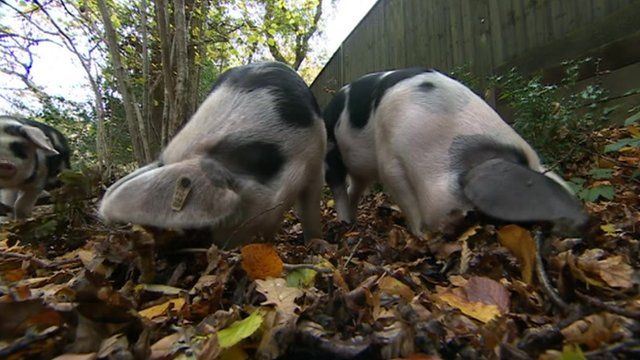 Pigs in the New Forest