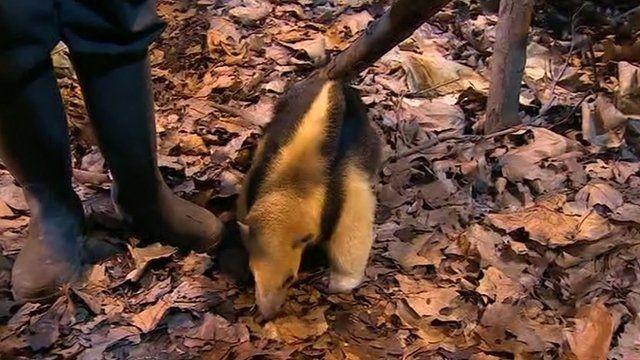 Tamandua in London Zoo