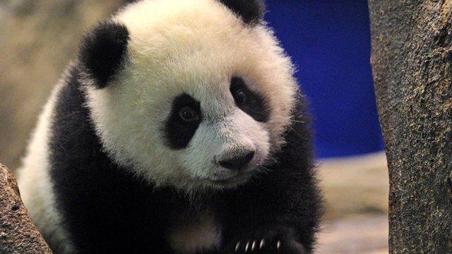Yuan Zai , the first Taiwan-born baby panda, climbs inside an enclosure at the Taipei City Zoo
