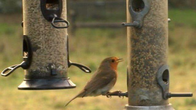 Robin on a bird feeder