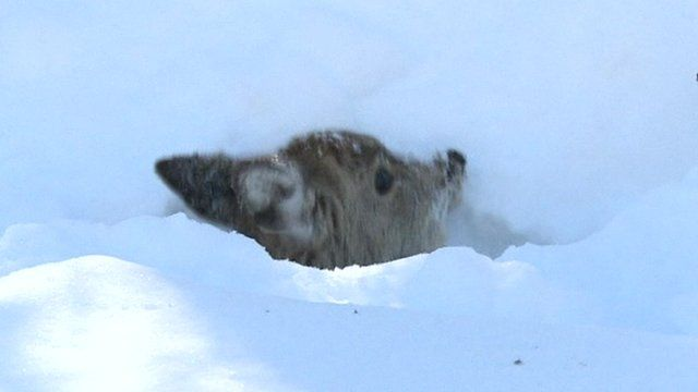 Deer rescued from Japan snowdrift