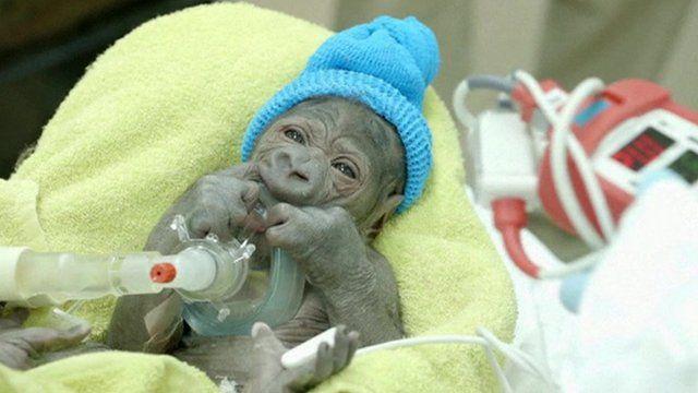 The new born female gorilla