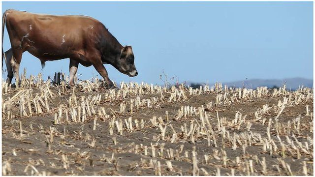 Cow on drought field