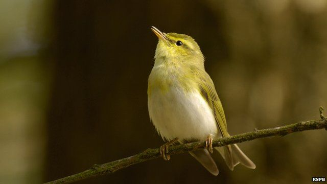 A wood warbler sings whilst sitting on a branch