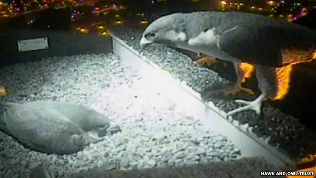 Peregrine falcons on Norwich Cathedral