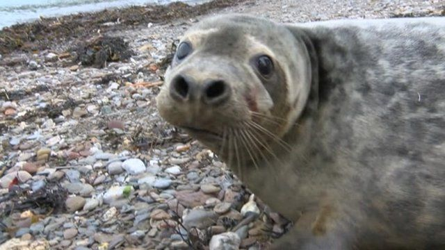 Asteroid the grey seal